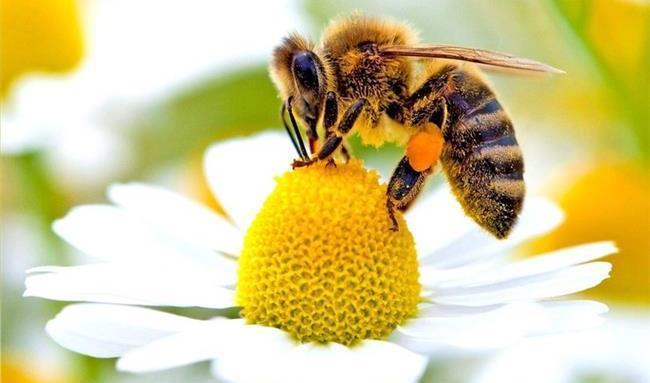آیا نیش زنبور عسل می تواند کرونا را درمان کند؟