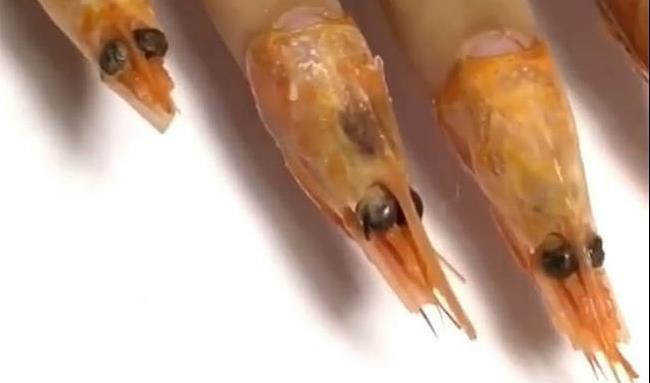 طراحی  ناخن عجیب و ترسناک با سر میگوی واقعی و مورچه زنده! + عکس