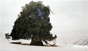 سرو ۲۷۰۰ ساله شهرستانک البرز شکست! / درختی که شکست و حسرتی که بر دل نشست