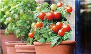 روش کاشت گوجه فرنگی و فلفل در گلدان